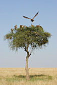 Vultures in an Acacia tree on the savanna