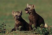 Spotted Hyena pups (Crocuta crocuta)