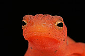 Red Eft (Notophthalmus viridescens)