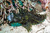 Merlet's scorpionfish