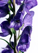 Monkshood (Aconitum napellus) flowers