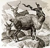 Markhor goats,19th century artwork