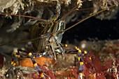 Jewel anemone