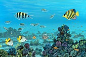 Red Sea reef fish,artwork