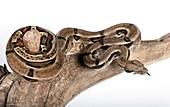 Mexican boa constrictor