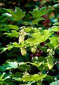 Sycamore (Acer pseudoplatanus)
