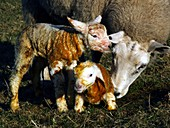 Ewe cleaning newborn lambs