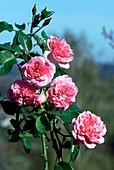 Rose (Rosa 'Les quatre Saisons')