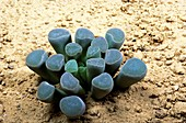 Baby's toes (Fenestraria sp.) plant