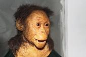 Reconstructed Australopithecus afarensis