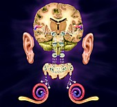 Human auditory system,artwork