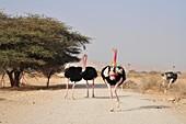 Ostriches in a Nature Reserve