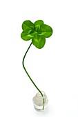 Five-leaf clover