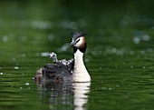Great crested grebe carrying its chicks