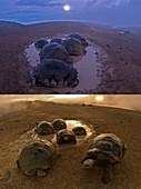 Galapagos giant tortoise thermoregulation