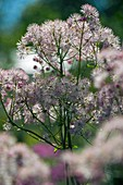 Meadow Rue (Thalictum sp.)