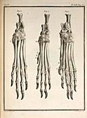 1755 Variation dog feet Buffon evolution