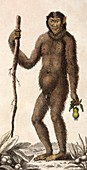 1795 Wild Man of the woods - orangutan