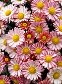 Chrysanthemum 'Hockney'
