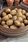 Solanum tuberosum 'Rocket'