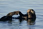 Sea Otters,USA