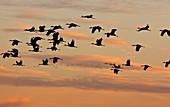 Lesser Sandhill Cranes,USA