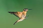 Shining sunbeam hummingbird
