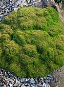 Scleranthus biflorus