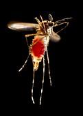 Mosquito taking flight