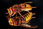 European hornet on a mirror