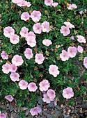 Geranium sanguinem var. striatum