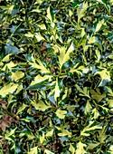 Ilex Aquifolium 'Golden Milkboy'