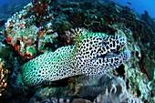 Laced moray