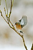 Male chaffinch taking off