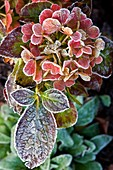 Hydrangea sp