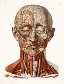Head vascular anatomy,historical artwork
