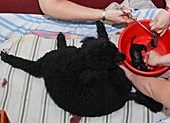Female Poodle gives birth