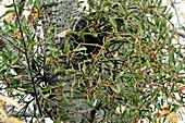 Coloured Mistletoe (Viscum coloratum)