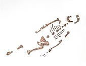 Lucy,fossil hominid skeleton