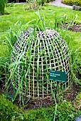 Rye grass in basket cloche