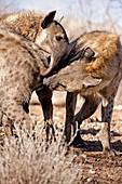 Spotted hyena greeting ritual
