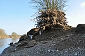 Flood debris on tree next to River Severn