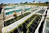 Abalone farming