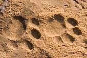 Jaguar tracks