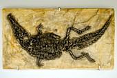 Crocodyliform fossil
