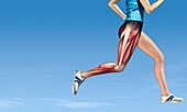 Leg muscles in running,artwork
