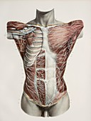 Superficial torso nerves,1844 artwork