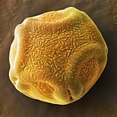 Alder tree pollen grain,SEM
