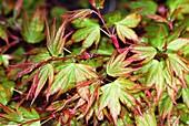Maple (Acer palmatum 'Kashima')