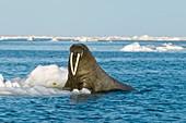 Atlantic walrus